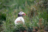 Atlantic Puffin — Stock Photo