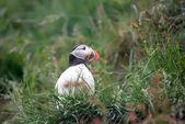 Lunnefågel — Stockfoto