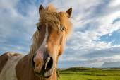 Icelandic horse head — Stock Photo