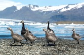 Barnacle goose family — Stock Photo