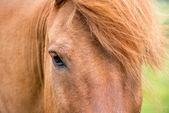 Icelandic horse's eye — Stock Photo
