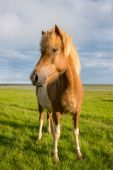 Icelandic horse with beautiful sunset — Stock Photo