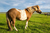 Cavallo sul prato in Islanda — Foto Stock