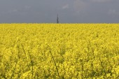 Oilseed rape field — Stockfoto