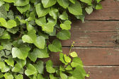 Ivy climbing tree on vintage wood panels — Stockfoto