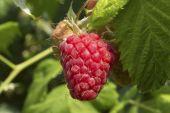 Bush de blackberry en el jardín — Foto de Stock