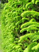 Spruce (Picea abies) — Stock Photo