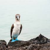 Blue-footed boobie and Marine Iguana. Galapagos, Ecuador — Stock Photo