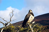 Patagonian classic: bird, tree, hill. Torres del Paine. Chile — Stock Photo