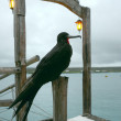 Frigate bird, Santa Cruz, Galapagos — Stock Photo #54517221