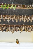 Rows of butterfly cocoons and newly hatched butterfly. — Stock Photo