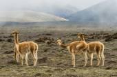 Vicugnas near the stratovolcano Chimborazo, central Ecuador — Stock Photo