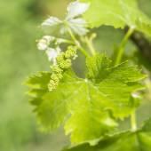 Grapevine flower transformation into a grape berry — Foto Stock