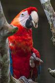 Macaw - Ara ararauna, Ecuador — Stock Photo