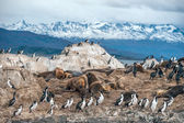 King Cormorant colony sits on an Island in the Beagle Channel — Stock Photo