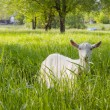 Goat grazed on a meadow. — Stok fotoğraf #73934261