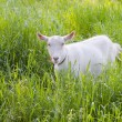 Goat grazed on a meadow — Foto de Stock   #73934409