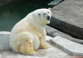 Polar bear — Stock fotografie