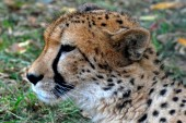 Guepard — Stock Photo