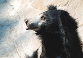 Black sloth bear — Stock Photo