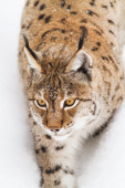 Lynx walks in the snow — Stock fotografie