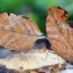 Two oak leaf butterflies on a slice of pineapple — Stock Photo #70746987