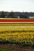 Tulip Fields of Holland — Stock Photo