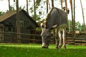 Donkey grazing on grass — Stock Photo