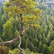 Постер, плакат: Saxon Switzerland A lone pine tree hanging over the abyss