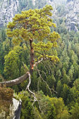 Saxon Switzerland. A lone pine tree hanging over the abyss — Stock Photo