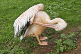 Pelican cleans feathers — Stock Photo