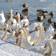 Swans and ducks — Stock Photo #61722457