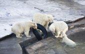 Playing bears — Stock Photo