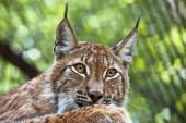 Muzzle of wild lynx close-up — Stock Photo