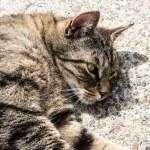 Gray cat — Stock Photo #74408233