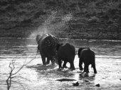 African elephants at Pilanesberg — Stock Photo