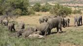 African elephants at Pilanesberg — Stock Photo