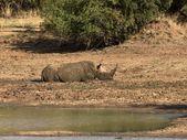 African wildlife — Stock Photo
