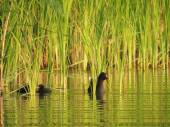 The common moorhen with ducklings in the reeds — Stock Photo