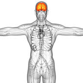 3d render medical illustration of the human brain — Stock Photo