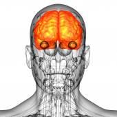 3d render medical illustration of the human brain  — Foto de Stock