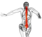 3d render medical illustration of the human spine — Stock Photo