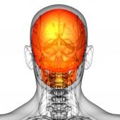 3d render medical illustration of the skull bone — Stockfoto