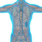 3d render medical illustration of the nerve system  — ストック写真