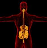 3d render medical illustration of the human digestive system — Stockfoto