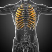 3d render medical illustration of the ribcage — Fotografia Stock