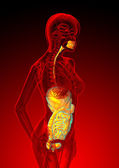 3d render medical illustration of the human digestive system  — Stock Photo