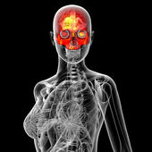 3d render medical illustration of the human sull  — Stock Photo