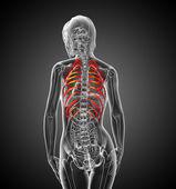 3d render medical illustration of the ribcage  — Foto de Stock