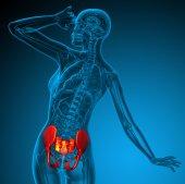 3d render medical illustration of the hip  — Stock Photo